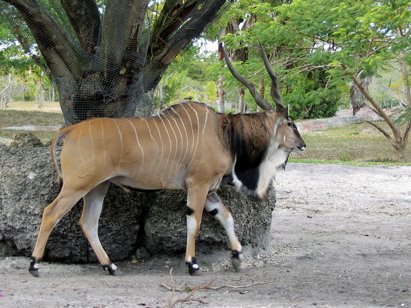 Giant Eland (Taurotragus derbianus) - Wiki; DISPLAY FULL IMAGE.
