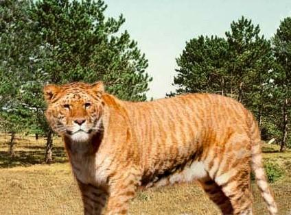 Bertram the liger.jpg