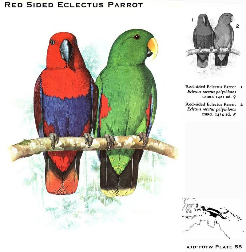 Red-sided Eclectus Parrots (Eclectus roratus polychloros); DISPLAY FULL IMAGE.