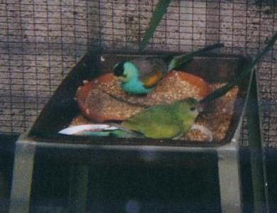 Golden-shouldered Parrot (Psephotus chrysopterygius) - Wiki; Image ONLY