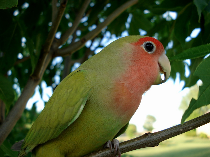 Peach-faced Lovebird (Agapornis roseicollis) - Wiki; DISPLAY FULL IMAGE.
