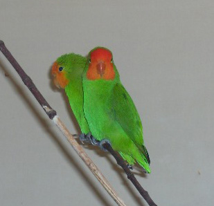 Red-headed Lovebird (Agapornis pullarius) - Wiki; Image ONLY