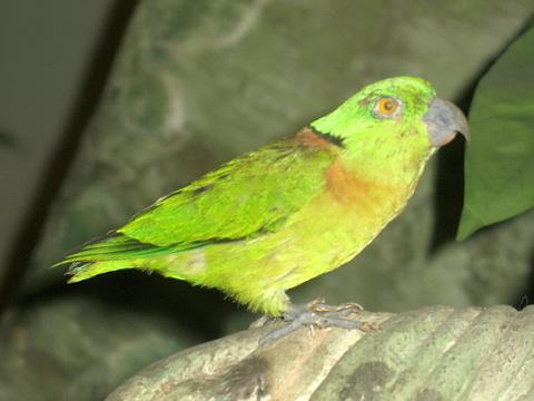 Black-collared Lovebird (Agapornis swindernianus) - Wiki; Image ONLY