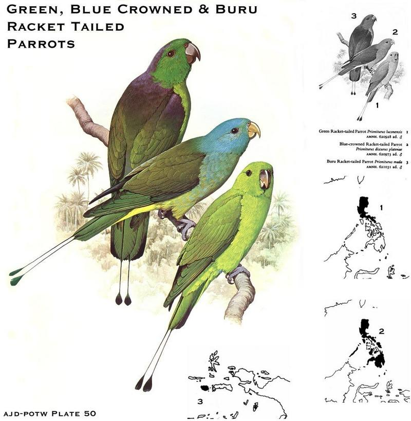 Green, Blue-crowned & Buru Racket-tailed Parrots (Prioniturus sp.); DISPLAY FULL IMAGE.