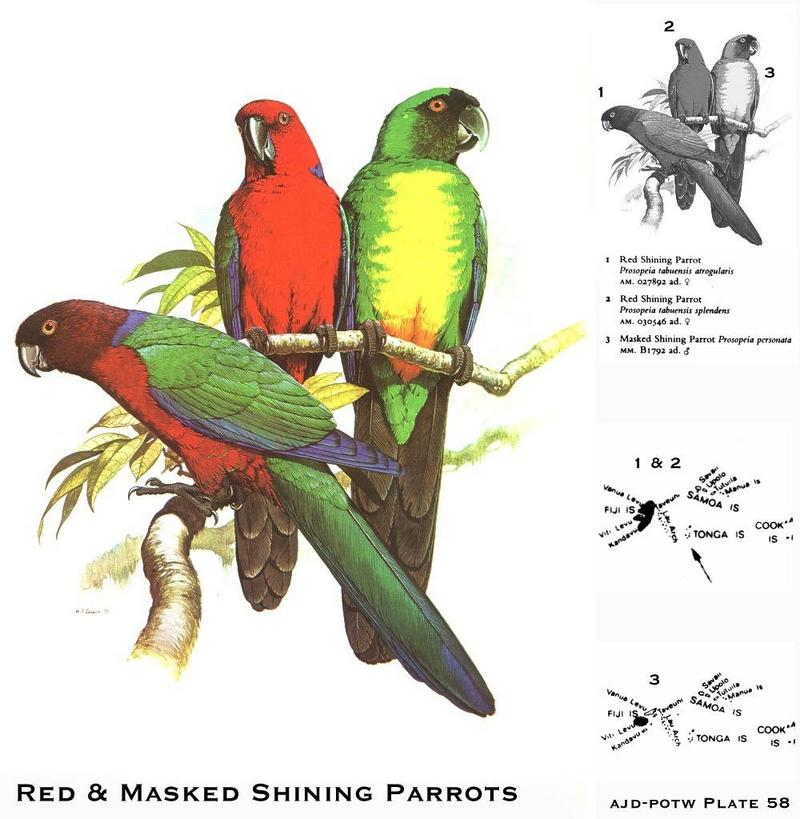 Red & Masked Shining Parrots (Prosopeia sp.); DISPLAY FULL IMAGE.