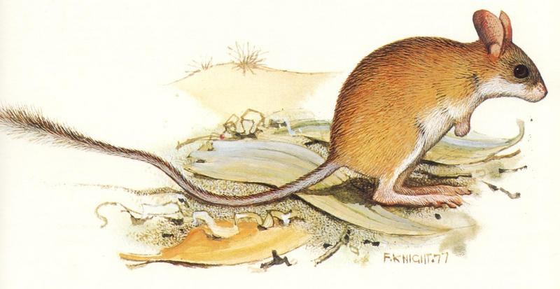 Northern Hopping Mouse (Notomys aquilo); DISPLAY FULL IMAGE.
