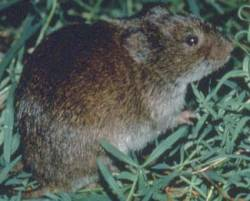 Meadow Vole (Microtus pennsylvanicus) - Wiki; Image ONLY