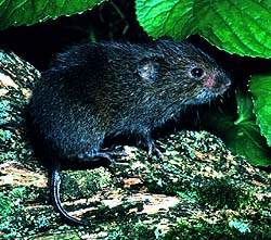 Vole (Family: Cricetidae) - Wiki; Image ONLY