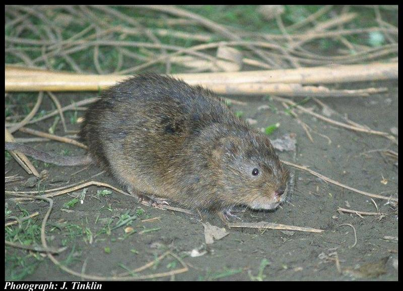 European Water Vole (Arvicola amphibius); DISPLAY FULL IMAGE.