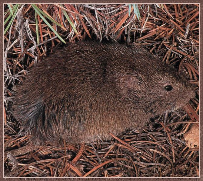 Mexican Vole (Microtus mexicanus); Image ONLY