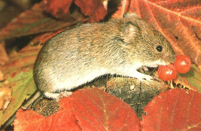 Red-backed Vole (Myodes sp.); Image ONLY