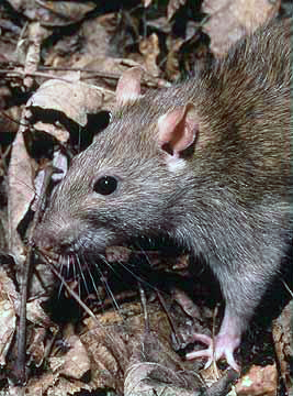 Brown Rat (Rattus norvegicus) - Wiki; Image ONLY