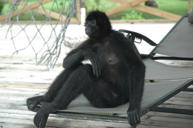 Spider Monkey (Ateles sp.) - Wiki; DISPLAY FULL IMAGE.
