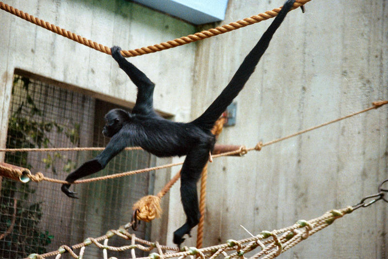 Black-headed Spider Monkey (Ateles fusciceps) - Wiki; DISPLAY FULL IMAGE.