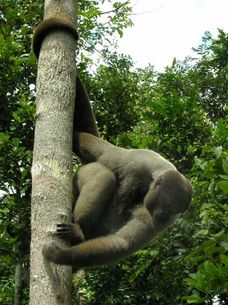 Brown Woolly Monkey (Lagothrix lagotricha) - Wiki; Image ONLY
