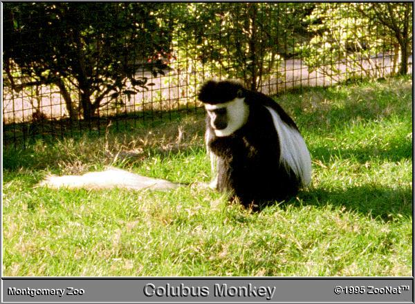 Black-and-white Colobus (Colobus sp.); Image ONLY