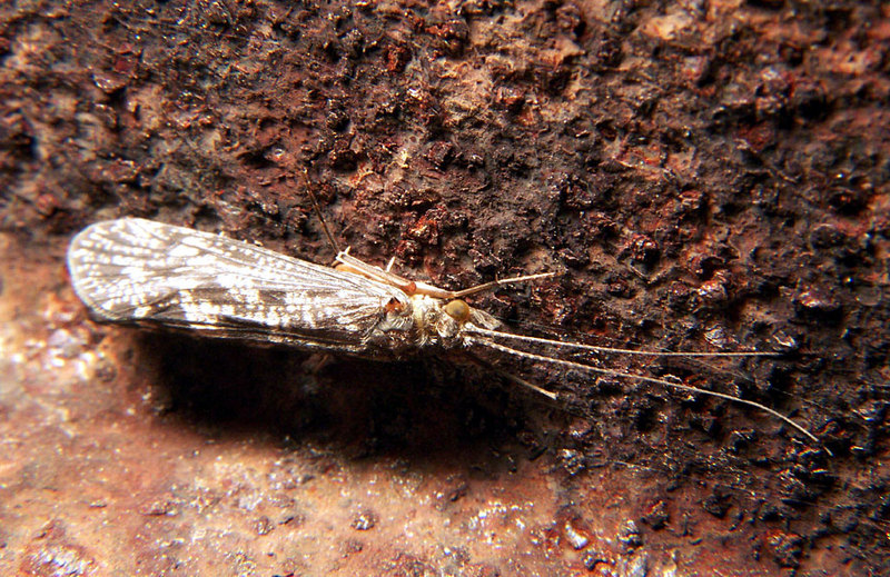 Caddisflies (Order Trichoptera) - Wiki; DISPLAY FULL IMAGE.