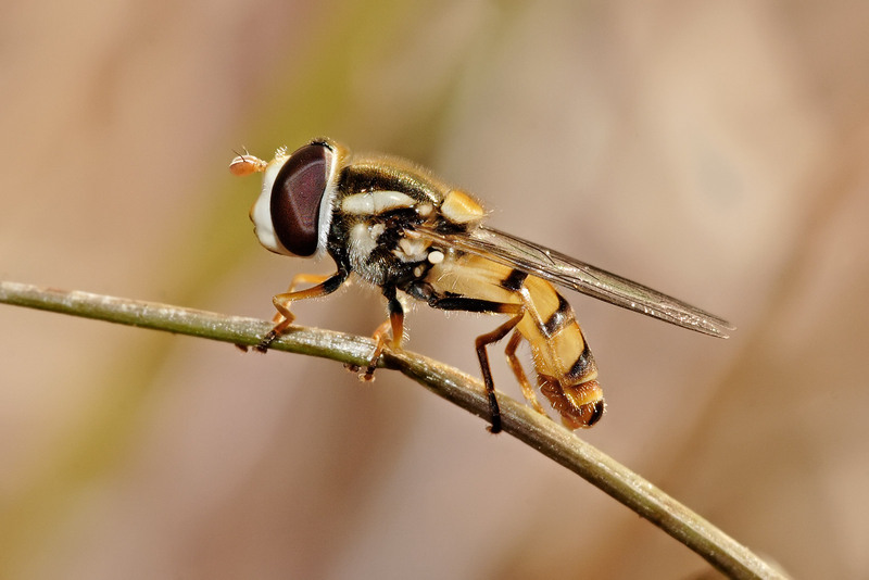 Hoverfly (Family: Syrphidae) - Wiki; DISPLAY FULL IMAGE.