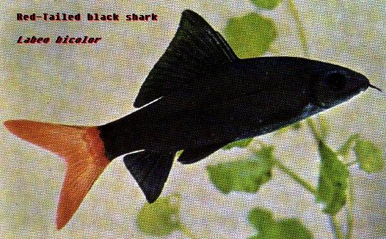 Red-tailed Black Shark (Epalzeorhynchos bicolor); Image ONLY