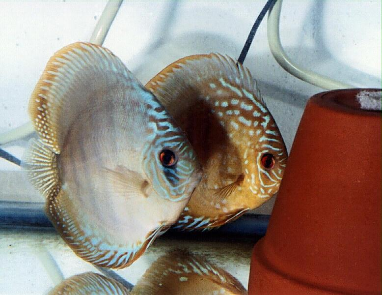 Common Discus, Symphysodon aequifasciatus; Image ONLY