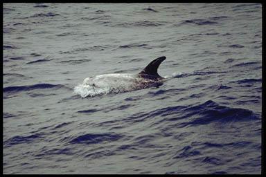 Rissos dolphin-Risso\'s Dolphin (Grampus griseus).jpg