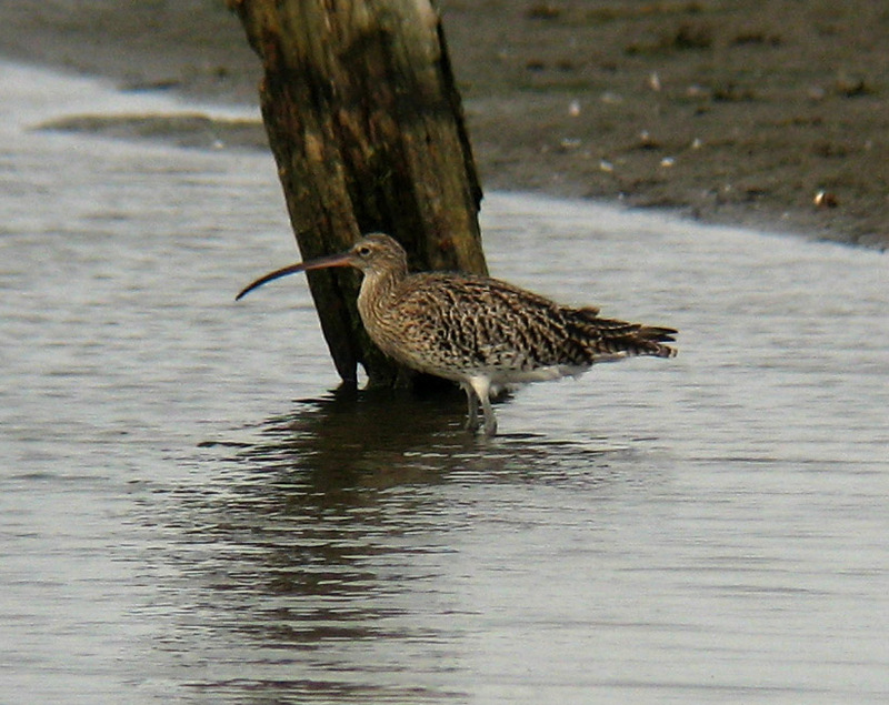 Eurasian Curlew (Numenius arquata) - Wiki; DISPLAY FULL IMAGE.