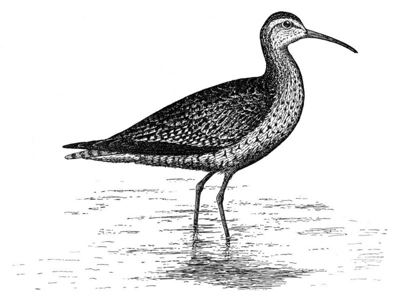 Eskimo Curlew (Numenius borealis) - Wiki; DISPLAY FULL IMAGE.