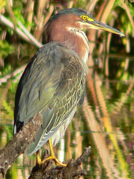 Green Heron (Butorides virescens) - Wiki; Image ONLY