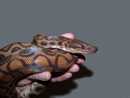 Rainbow Boa (Epicrates cenchria) - Wiki; Image ONLY