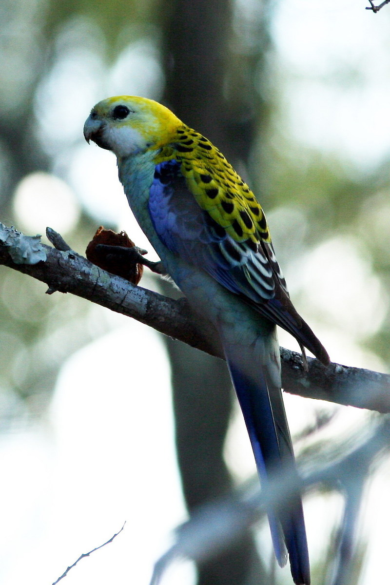 Pale-headed Rosella (Platycercus adscitus) - Wiki; DISPLAY FULL IMAGE.