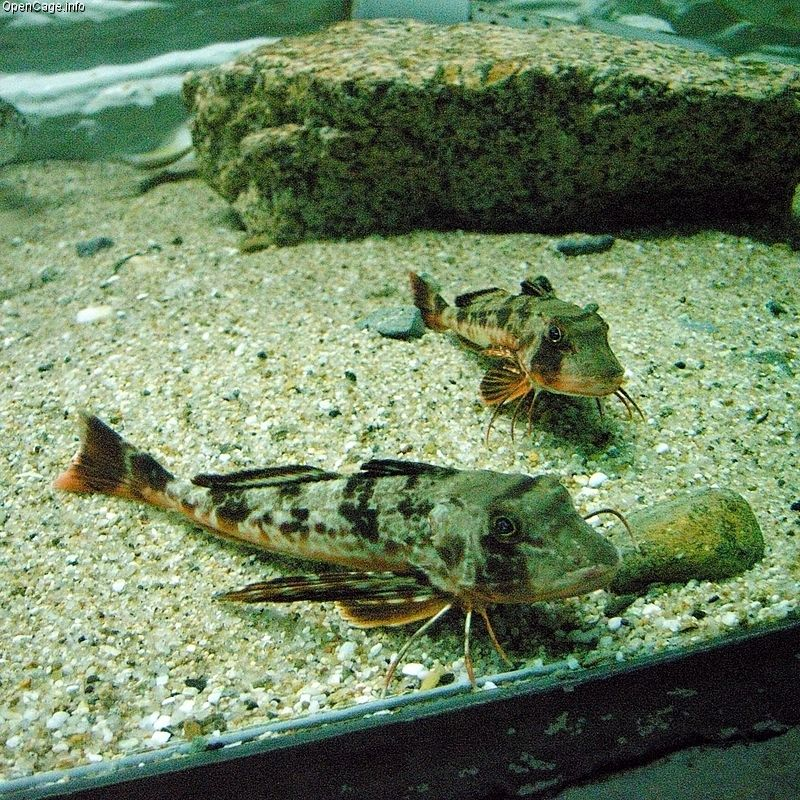 Sea Robin (Family: Triglidae) - Wiki; Image ONLY