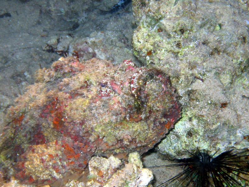 Stonefish (Synanceia verrucosa) - head detail, natural colours, Dahab.; DISPLAY FULL IMAGE.