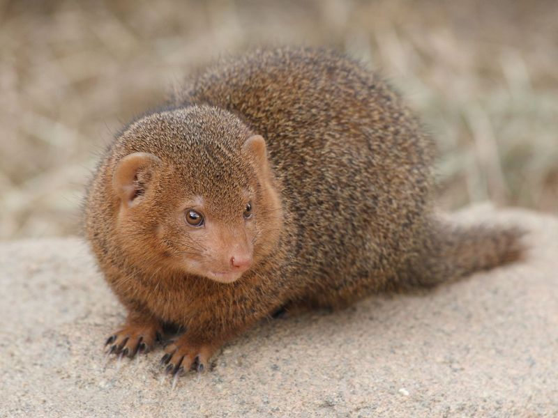 Mongoose (Family: Herpestidae) - Wiki; DISPLAY FULL IMAGE.