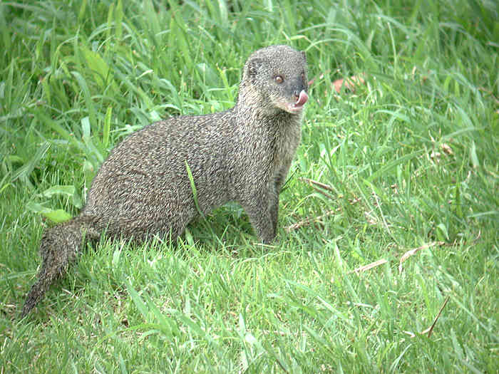 Small Asian Mongoose (Herpestes javanicus) - Wiki; Image ONLY