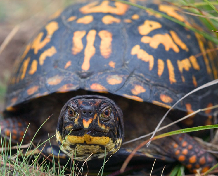 Eastern Box Turtle (Terrapene carolina carolina) - Wiki; Image ONLY