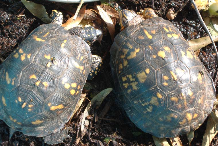Box Turtle (Terrapene carolina) - Wiki; Image ONLY