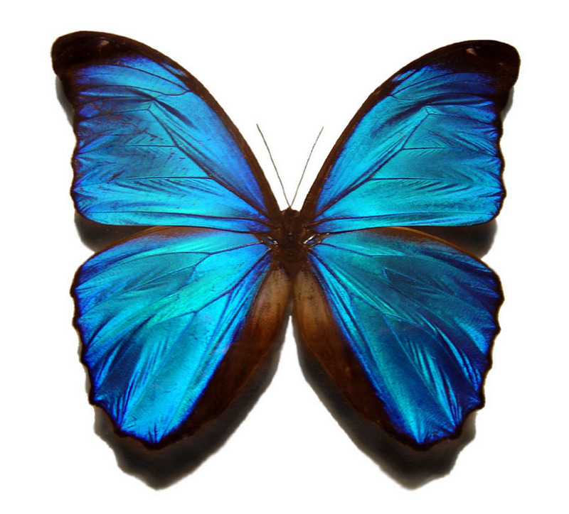 Blue Morpho (Genus Morpho) - Wiki; DISPLAY FULL IMAGE.