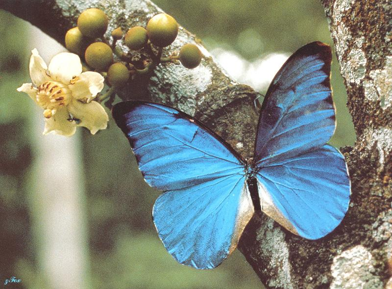 Blue Morpho Butterfly; Image ONLY
