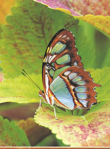 Glasswing Butterfly???; Image ONLY