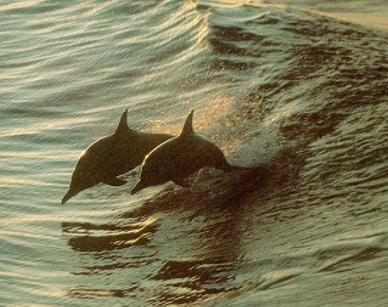 Spinner Dolphin (Stenella longirostris); DISPLAY FULL IMAGE.