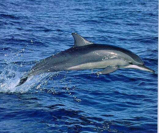 Stdol01-Spinner Dolphin-Flight.jpg
