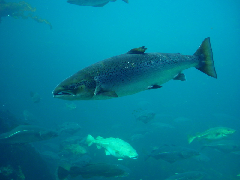 Atlantic Salmon (Salmo salar) - Wiki; DISPLAY FULL IMAGE.