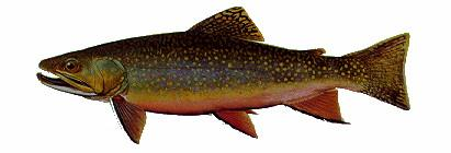 Brook Trout (Salvelinus fontinalis); Image ONLY
