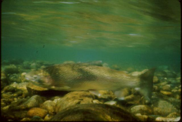 Rainbow Trout (Oncorhynchus mykiss); Image ONLY