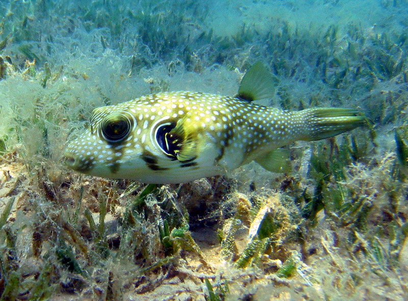 White-spotted Puffer (Arothron hispidus); DISPLAY FULL IMAGE.