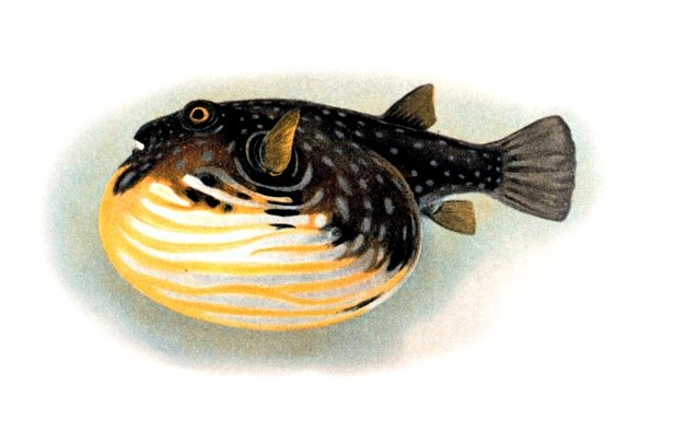 White-spotted puffer, Arothron hispidus; Image ONLY