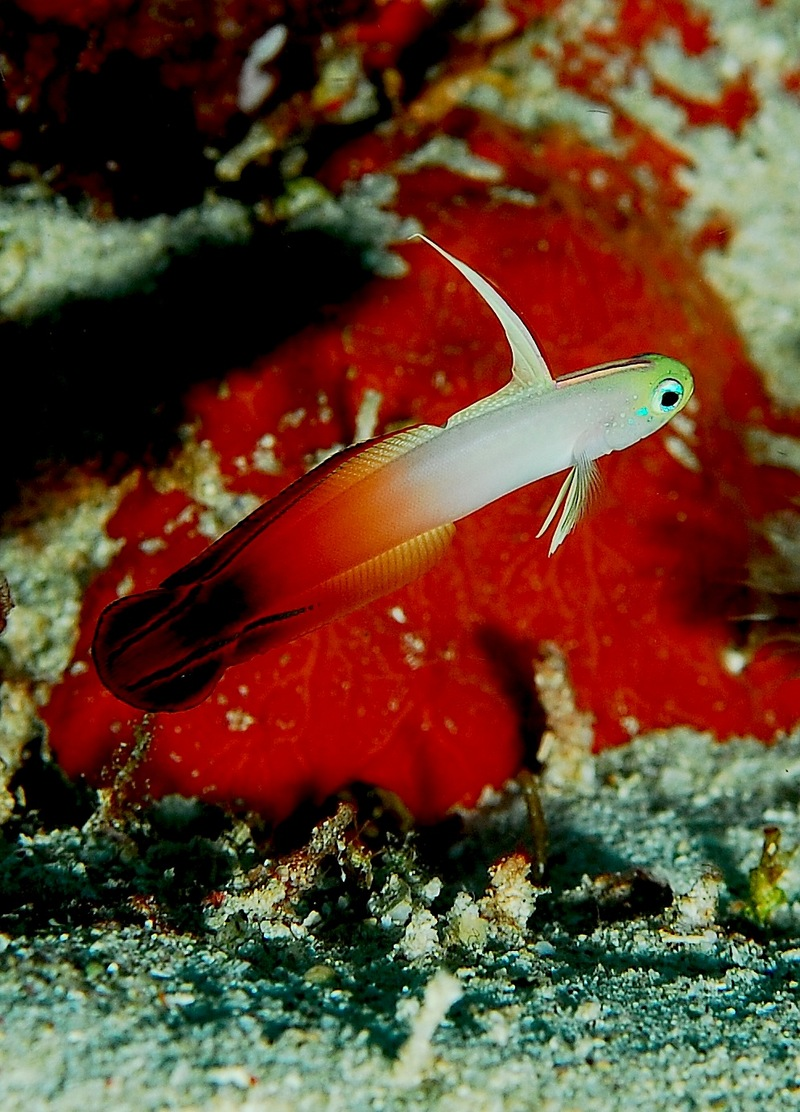 Fire Dartfish (Nemateleotris magnifica) - Wiki; DISPLAY FULL IMAGE.