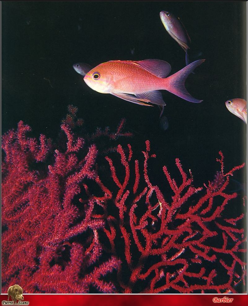 Swallowtail Seaperch (Anthias anthias); DISPLAY FULL IMAGE.