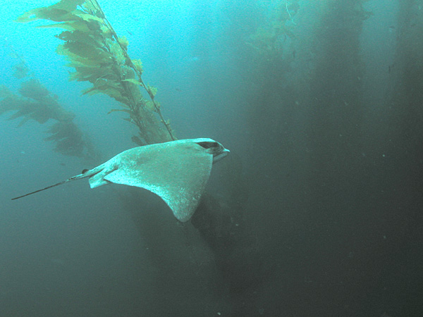 Bat Ray (Myliobatis californica); Image ONLY