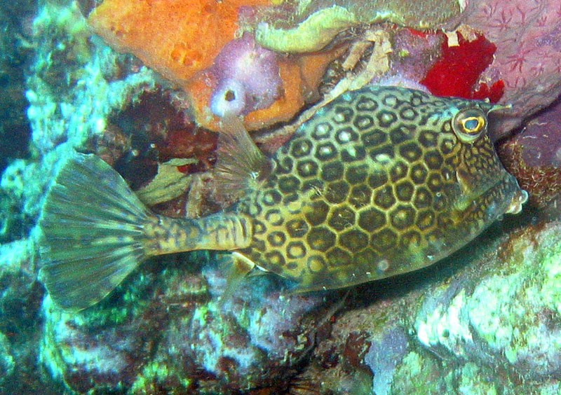 Honeycomb Cowfish (Acanthostracion polygonius) - Wiki; DISPLAY FULL IMAGE.